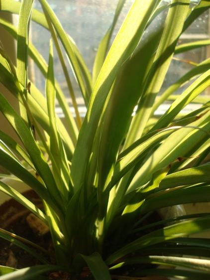 Spider_Plant_Blades